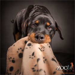 young rottweiler pulling blanket with mouth