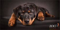rottweiler pup with head on ground between paws