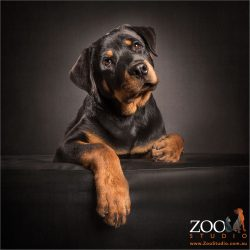 pensive young rottweiler looking upwards