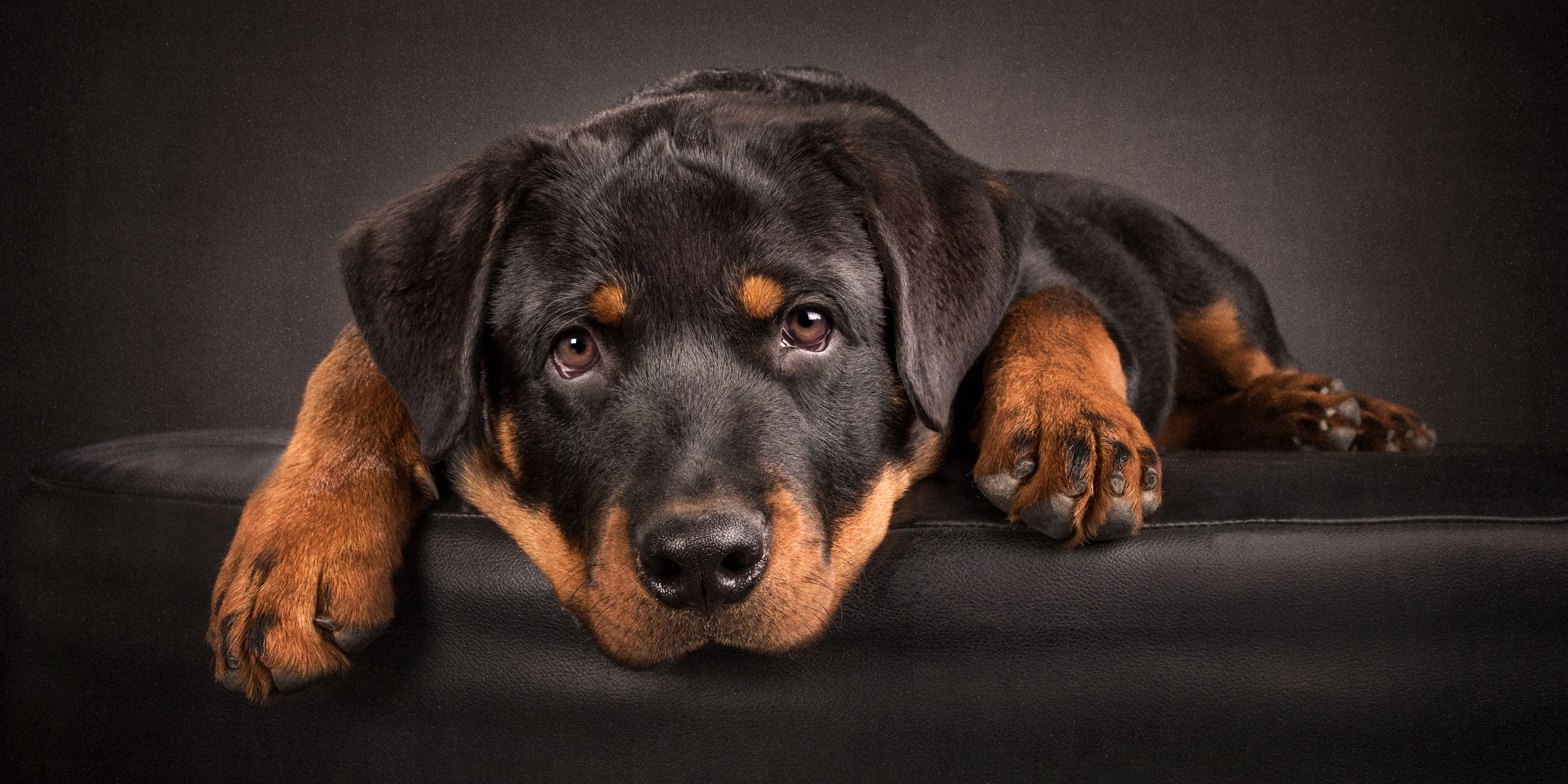 sweet faced young male rottweiler