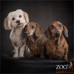 tan dachshund bros with white fur-bro