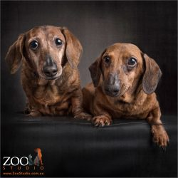 pair of tan dachshunds sitting on ottoman