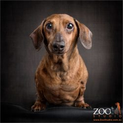 dachshund staring down the lens