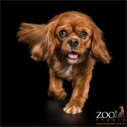 ruby cavalier king charles walking towards you