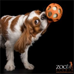blenheim cavalier kind charles with large orange ball in mouth