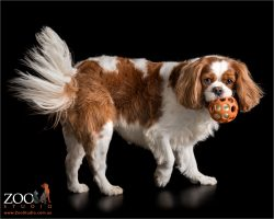 blenheim cavvy with fanned tail playing with orange ball