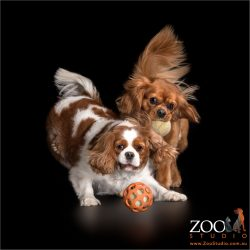 pair of cavalier king charles spaniels playing with balls