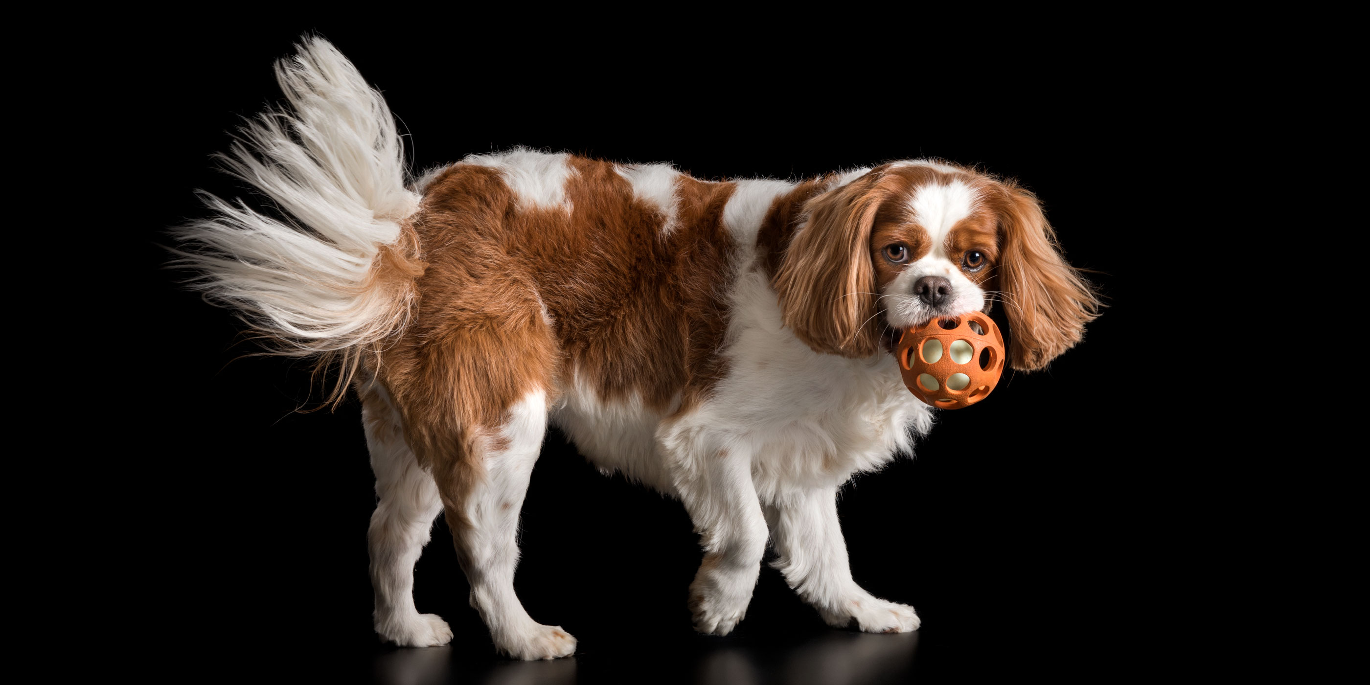 cavalier king charles playing with orange ball in mouth