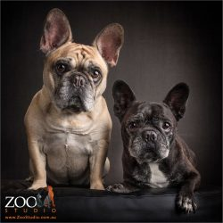 fawn and brindle french bulldogs