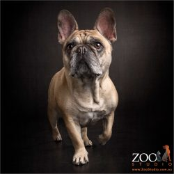 walking tall fawn french bulldog