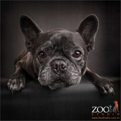 intent stare brindle french bulldog