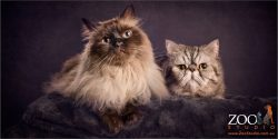 feline fur siblings himalayan cross and exotic