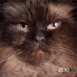 face close up blue eyed himalayan cross