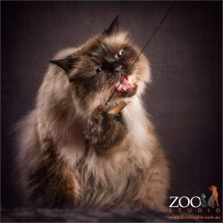 gone fishing himalayan cross cat
