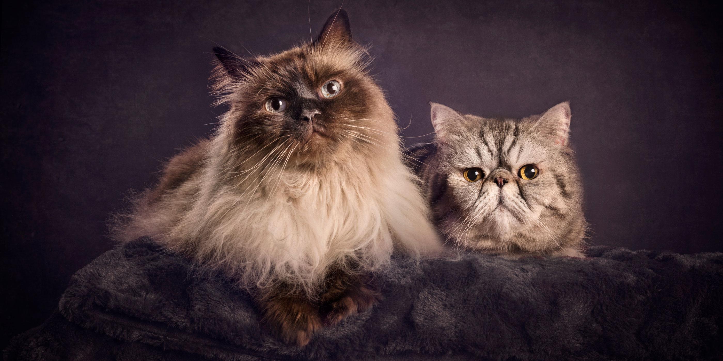 pair of feline fur siblings himalayan corss and exotic