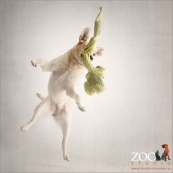 golden labrador leaping with joy for green toy