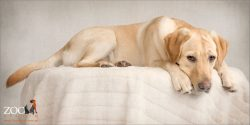 relaxed and soulful golden labrador girl