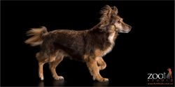 flowing fluffy ears and tail running chocolate dog