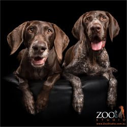 smiling german shorthaired pointer pups