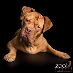 inquiring look from french mastiff