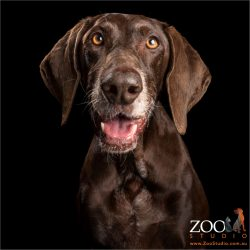 grey nosed german shorthaired pointer