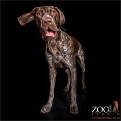 ear flapping german shorthaired pointer