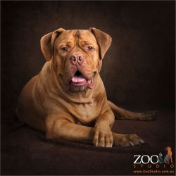 gentlemanly crossed paws french mastiff