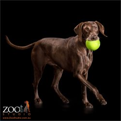 running german shorthaired pointer with huge green ball in mouth