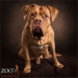 mesmerising look from sitting french mastiff