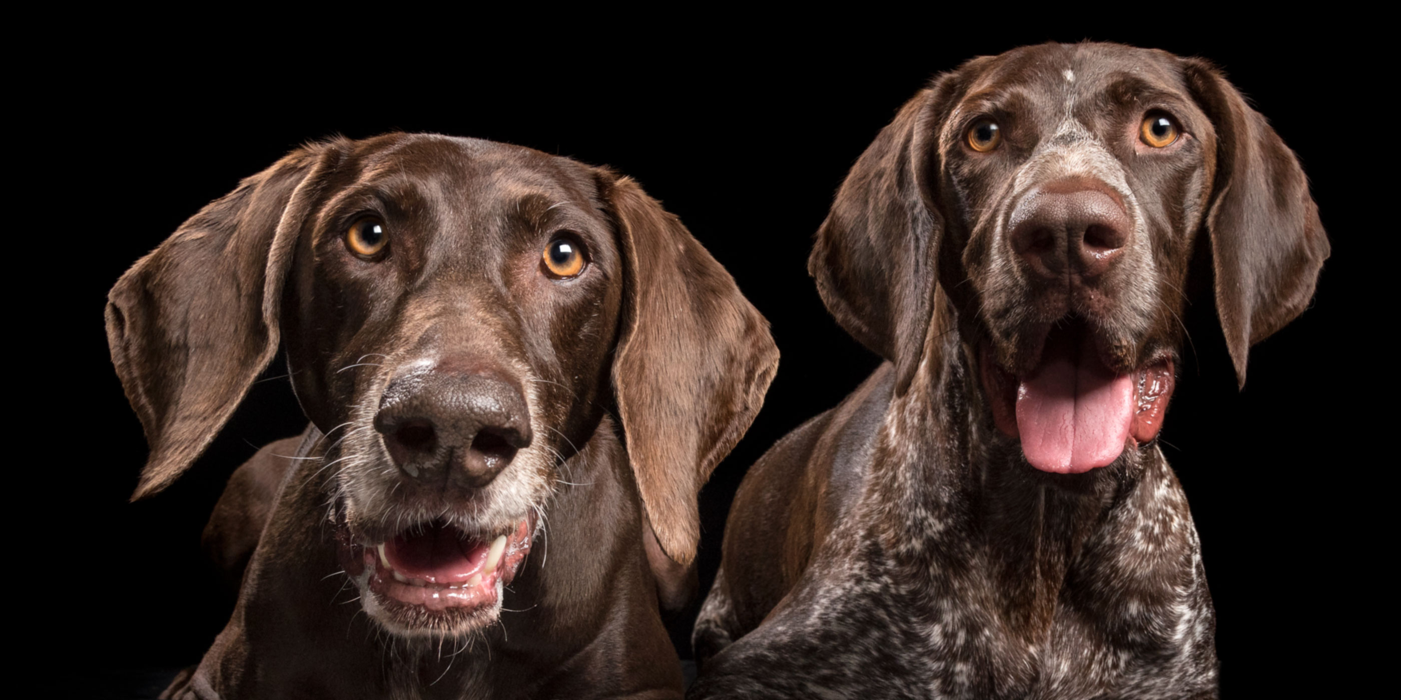fur-siblings german shorthaitred pointer dogs