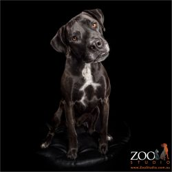 qizzical look black and white great dane cross