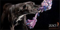 great dane cross mastiff tugging on rope