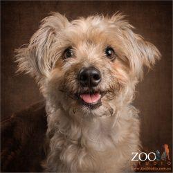 happy munchkin silky terrier poodle cross