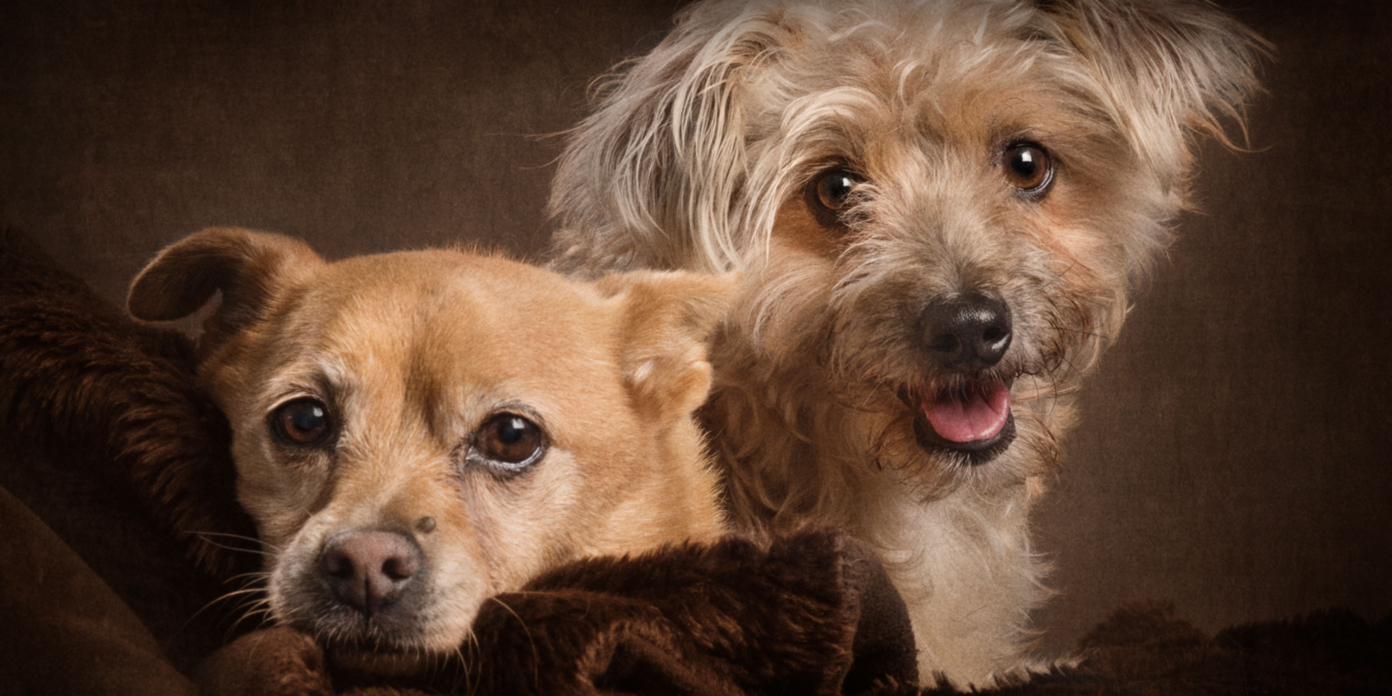pair of fur bros chihuahua cross and silky poodle cross
