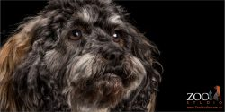 black and gray cavoodle face