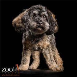black tan and grey tiny cavoodle