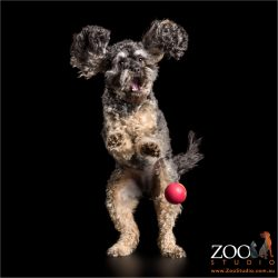 ears flapping cavoodle on hind legs