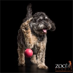 high fiving cavoodle with red ball
