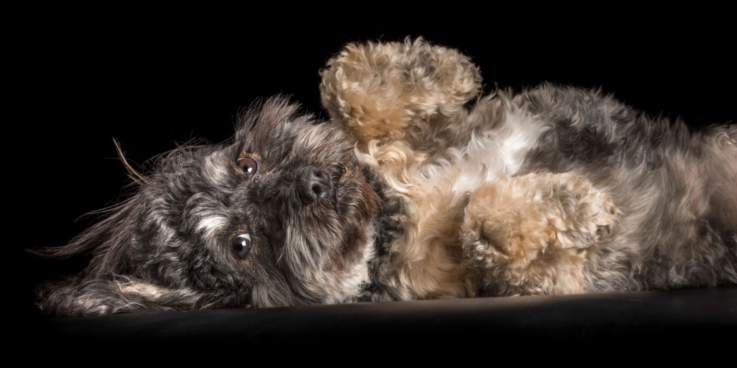 black tan and white cavoodle girl lying on back