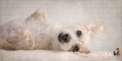 caramel and white maltese terrier lying on back
