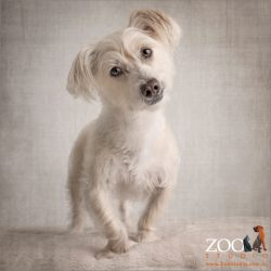 head tilting caramel and white maltese terrier