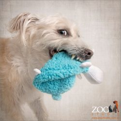 funny maltese terrier with blue sheep toy in mouth