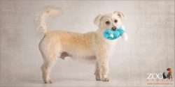 cute caramel and white maltese terrier profile with blue sheep toy in mouth