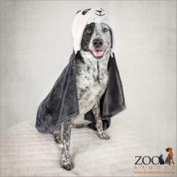 super dog in cape cattle dog cross