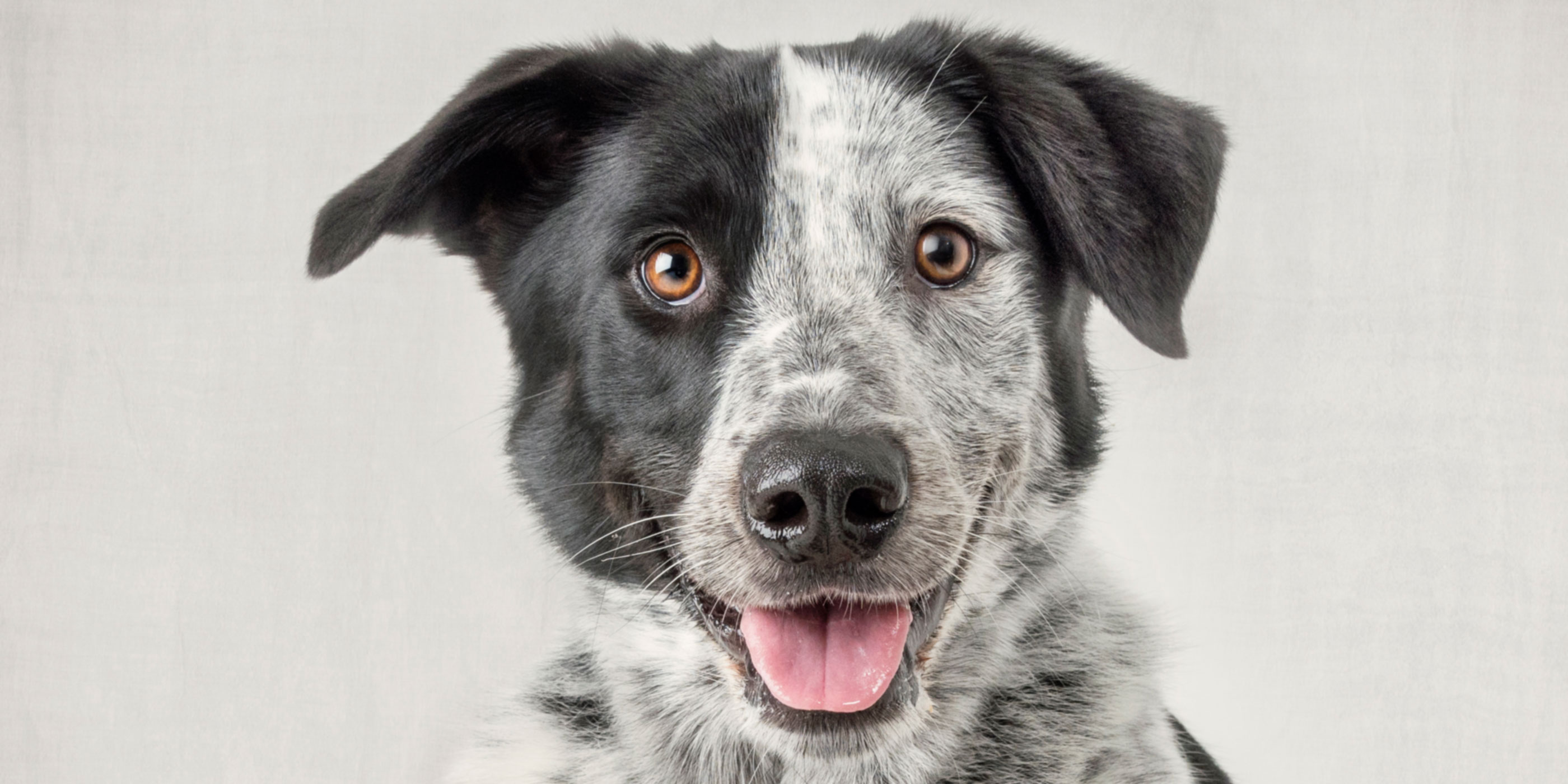 smiling faced black and white cattle dog cross