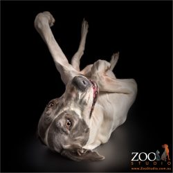 great dane in dead cockroach pose