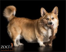 corgi with tug rope hanging from mouth