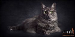 elegant pose fluffy maine coon cross