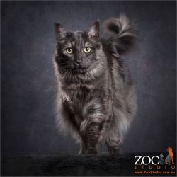 proud walk grey maine coon domestic cross