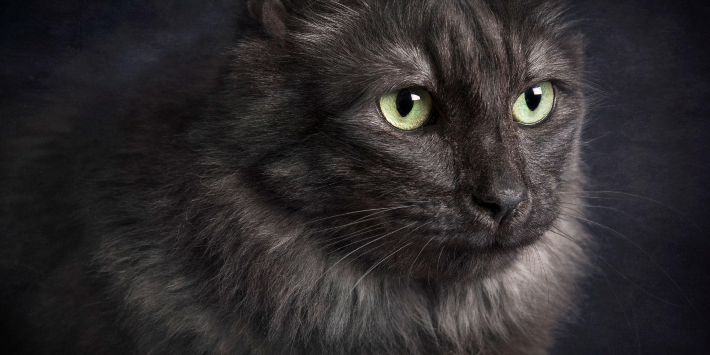 domestic maine coon cross cat big green eyes